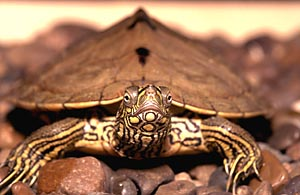 Ouachita Map Turtle Daviess Co Audubon Society